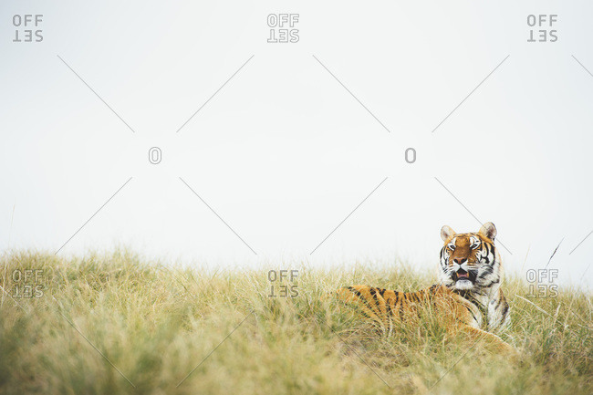 Tiger in green grass
