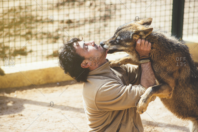 Adult man with happy wolf licking his face in the zoo.