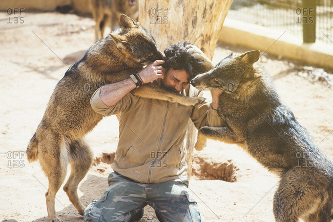 Man struggling with wolves