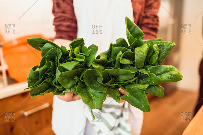 Hands of unrecognizable cook standing with bunch of green fresh spinach.