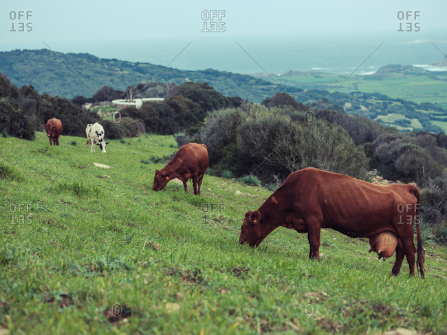 Brown cows pasturing on hill