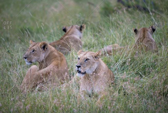 Group of female lions resting in the Maasai Mara, Kenya