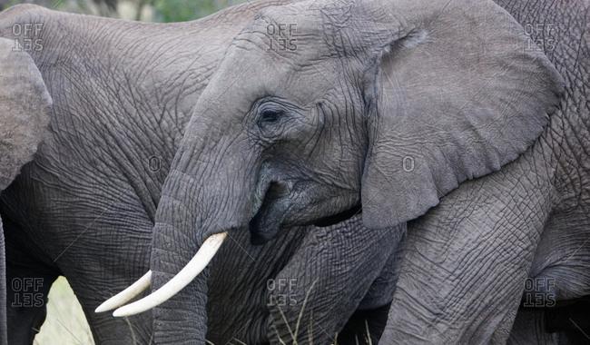 Female elephant walking in herd in Kenya