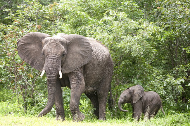 Mother and baby elephant in forest in central Botswana