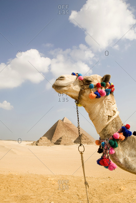 Giza Pyramids and camel for tourists in Egypt