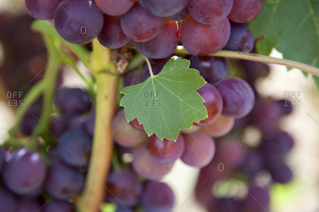 Close up of grapes on vine and a small leaf