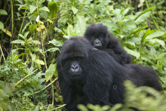 Mother and baby gorilla in Virunga National Park, Rwanda