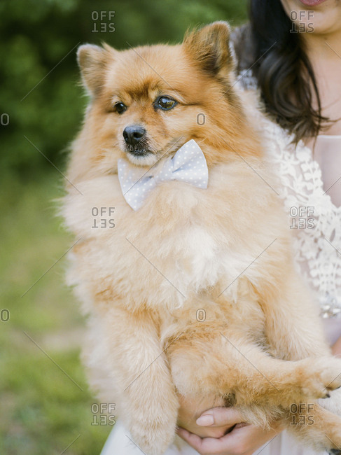 Bride holding her pet dog wearing a bowtie