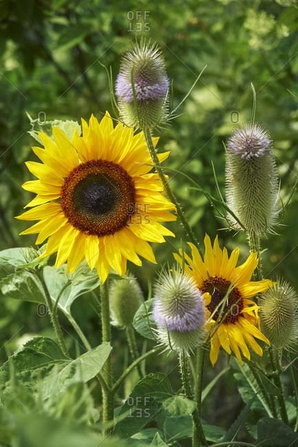 Sunflowers and Fuller's Teasels - Offset