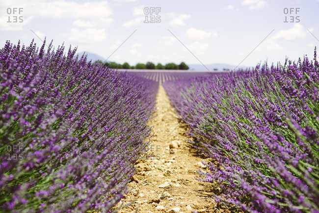 France- Provence- Valensole plateau- purple fields of blooming lavender in summer