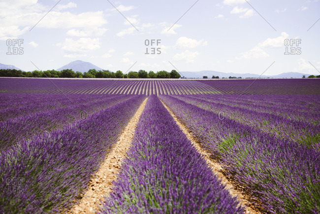 France- Provence- Valensole plateau- Infinite purple fields of blooming lavender in summer