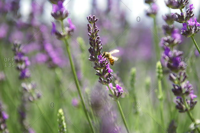 France- Provence- close-up of bee on a lavender flower in the summer