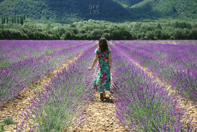 France- Provence- Valensole plateau- woman walking among lavender fields in the summer