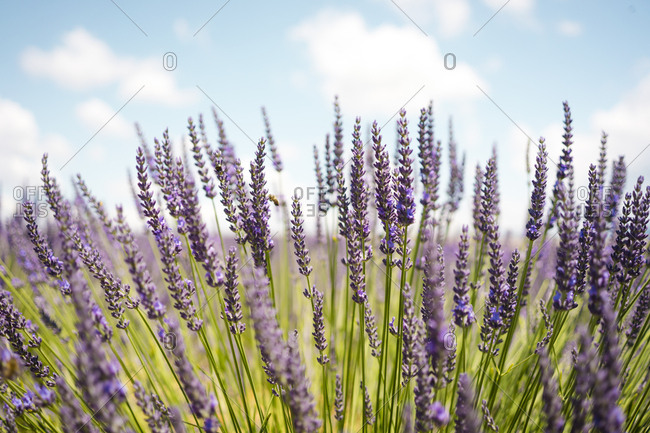 France- Provence- close-up of blooming lavender field in the summer