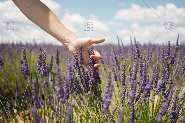 France- Provence- woman touching lavender blossoms in field in the summer