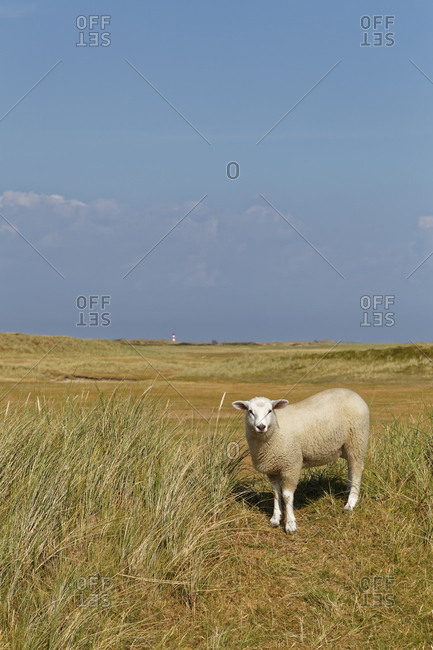 Germany- North Frisia- Sylt- Sheep on meadow