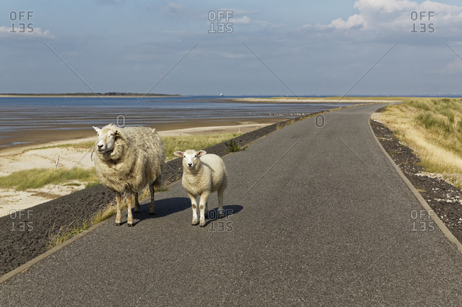 Germany- North Frisia- Sylt- Sheep on country road