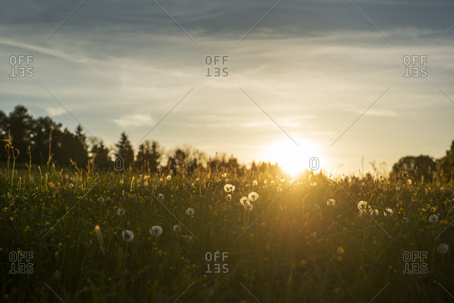 Blowballs on a meadow at sunset
