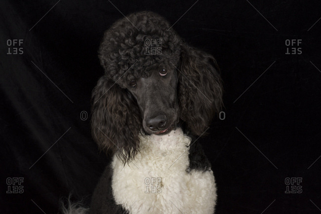 Portrait of black and white poodle in front of black background