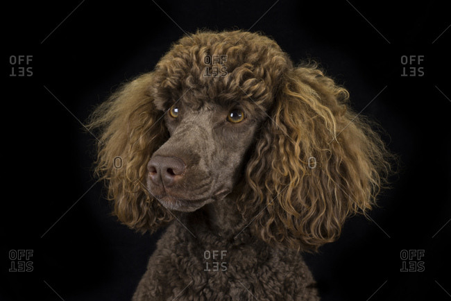 Portrait of brown poodle in front of black background