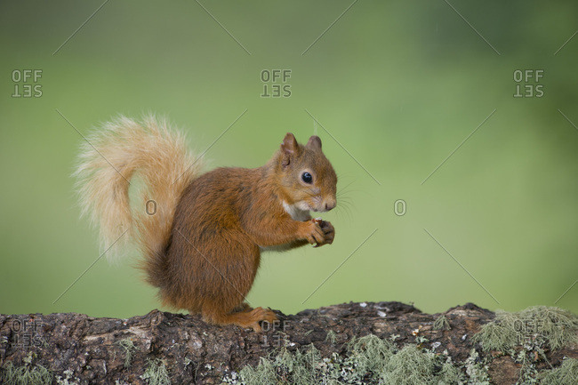 Portrait of eating Eurasian red squirrel  on tree trunk