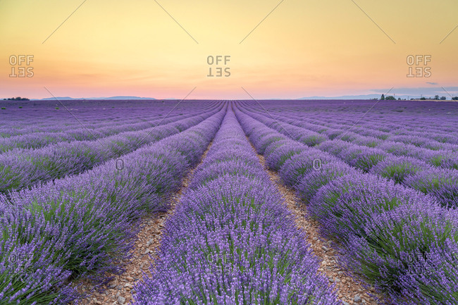 France- Alpes-de-Haute-Provence- Valensole- lavender field at twilight