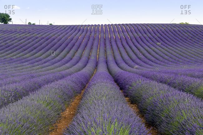 France- Alpes-de-Haute-Provence- Valensole- lavender field