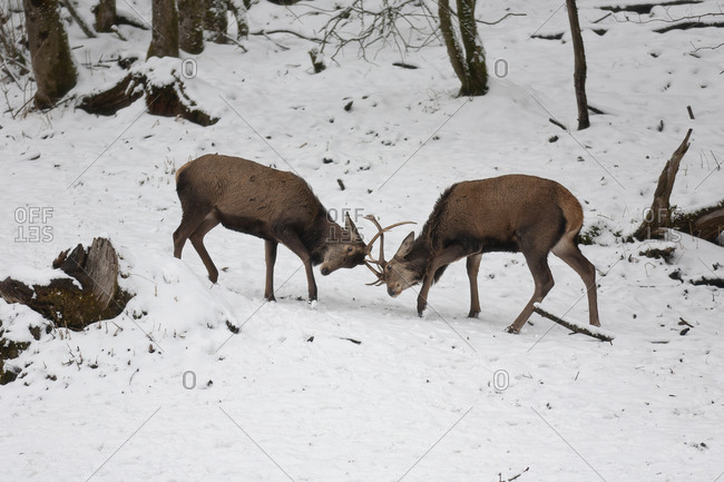 Red stags fighting