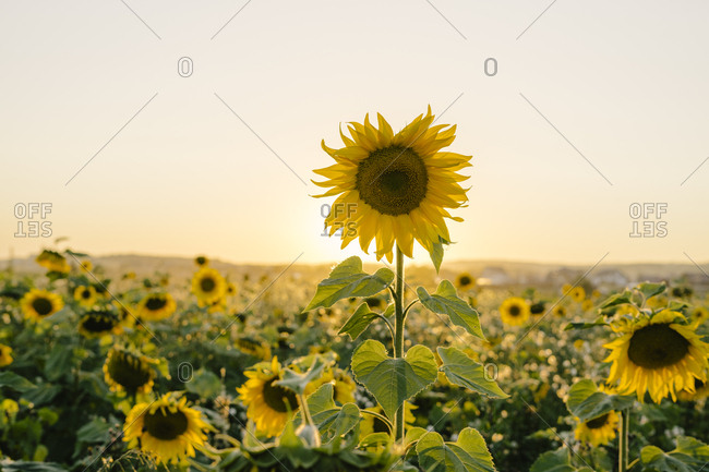 Field with sunflowers at sunset