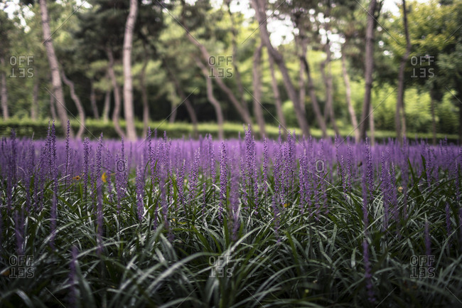 Early Morning Rainy Purple Flower Forest