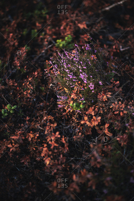 Purple Heather wildflowers - Offset Collection