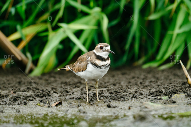 Killdeer bird standing in dirt