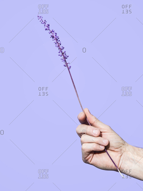 Man holding a purple Liriope flower on a purple background.
