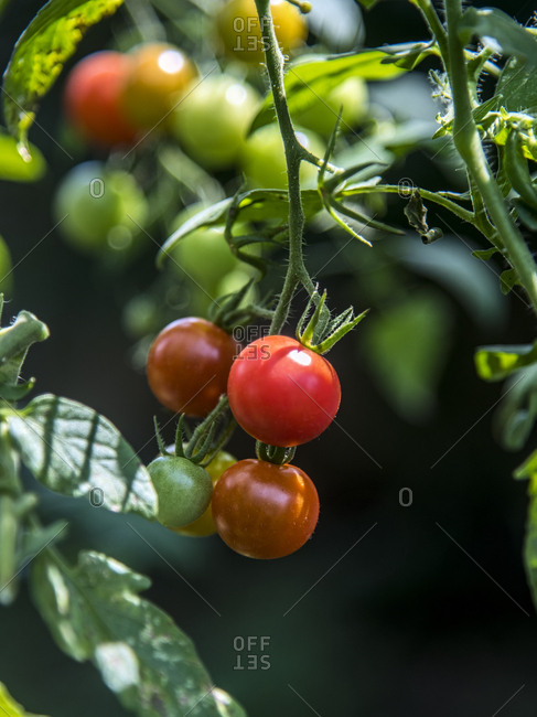 Small tomatoes hanging from a vine in a home garden
