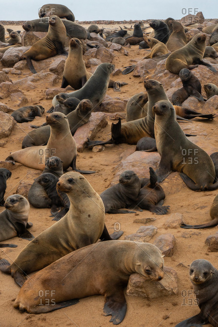 Seals alert at one of world's largest colonies of Cape Fur Seals (Arctocephalus pusillus), Atlantic Coast, Cape Cross, Namibia, Africa