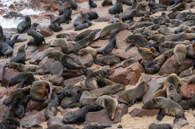 Seals slumber at one of world's largest colonies of Cape Fur Seals (Arctocephalus pusillus), Atlantic Coast, Cape Cross, Namibia, Africa