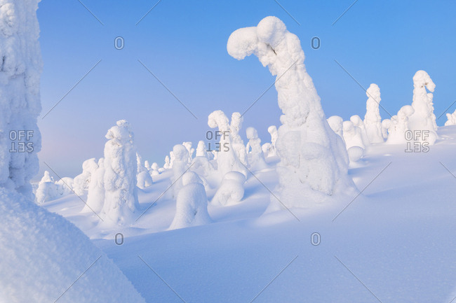 Trees covered with ice and snow, Riisitunturi National Park, Posio, Lapland, Finland, Europe