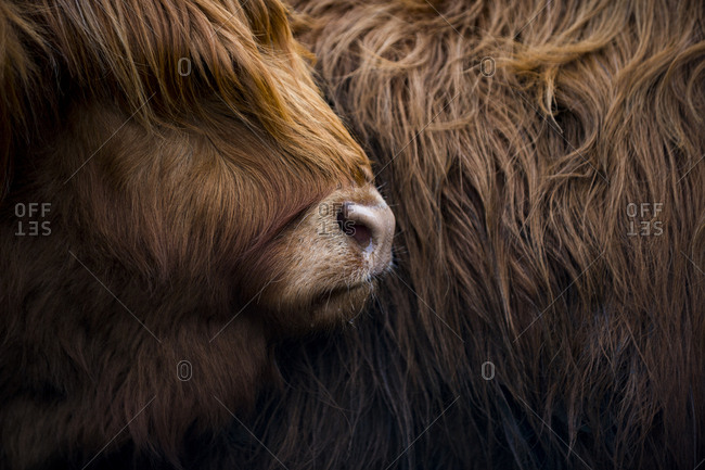 Highland cow near Shiel Bridge in the Scottish Highlands, Scotland, United Kingdom, Europe