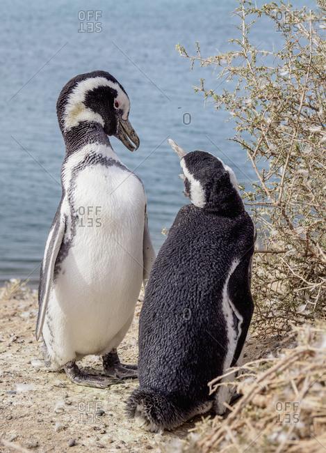 Magellanic penguins (Spheniscus magellanicus) in Caleta Valdes, Valdes Peninsula, Chubut Province, Patagonia, Argentina, South America