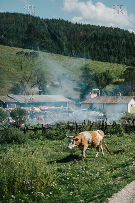 View of a cow and farm in background