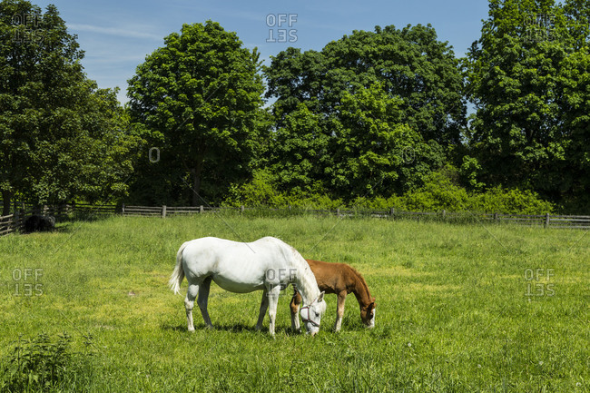 Europe, Poland, Voivodeship Masovian, The Museum of the Mazovian Countryside in Sierpc, horses on pasture