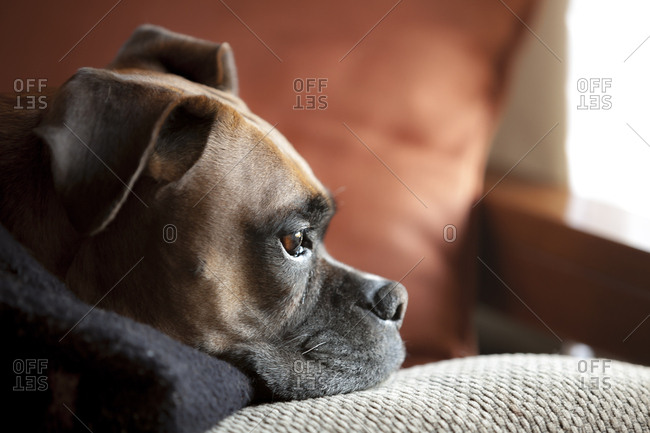 Portrait of boxer dog relaxing