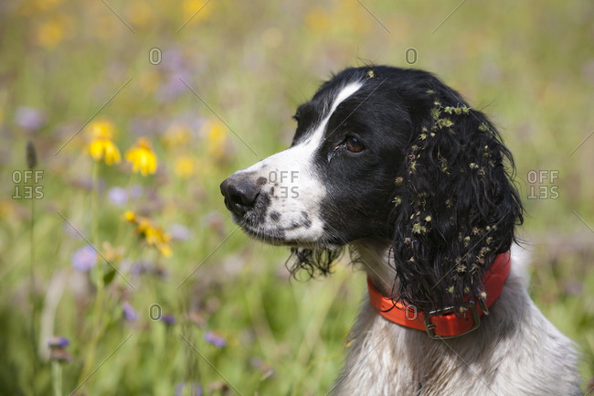 Portrait of a Springer Spaniel with burrs on her ears