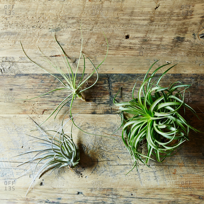Houseplants air plants - Offset Collection