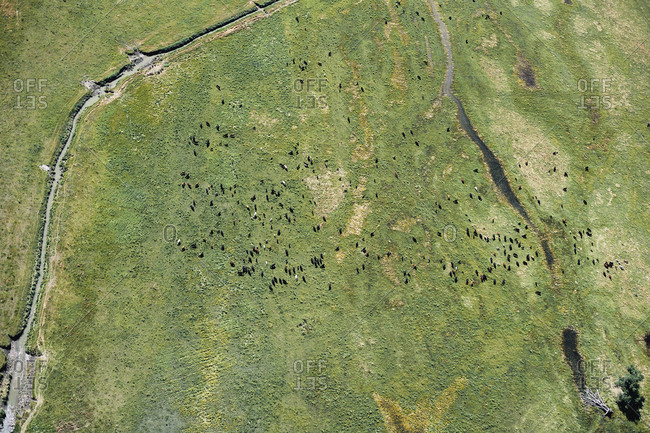 USA- Aerial of cattle in a field with a stream in Western Nebraska
