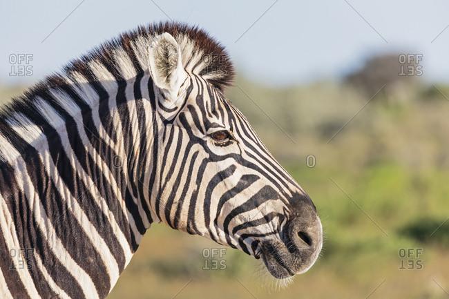 Africa- Namibia- Etosha National Park- Portrait of burchell's zebra- Equus quagga burchelli