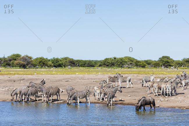 Africa- Namibia- Etosha National Park- burchell's zebras- Equus quagga burchelli- blue wildebeest- at Chudop waterhole