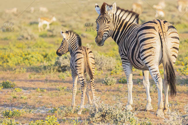 Africa- Namibia- Etosha National Park- burchell\'s zebras- Equus quagga burchelli- young animal and  mother animal