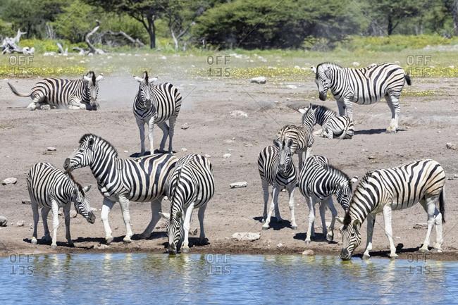 Africa- Namibia- Etosha National Park- burchell's zebras- Equus quagga burchelli- at Chudop waterhole