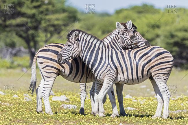 Africa- Namibia- Etosha National Park- burchell's zebras- Equus quagga burchelli